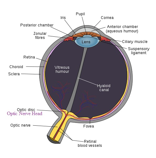 medical pharmacology  cardiovascular activity of beta adrenergic    schematic diagram of the human eye