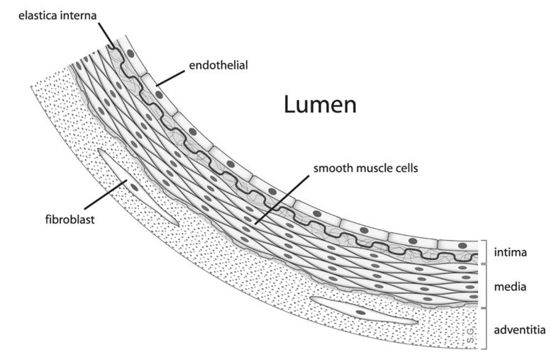smooth muscle cell  Labeled Smooth Muscle Cell Diagram