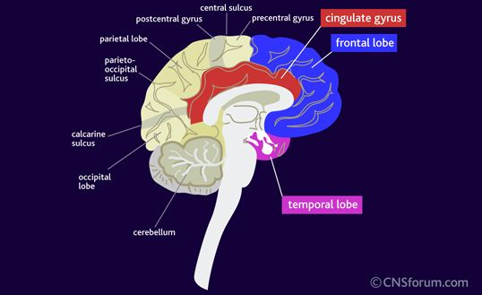 Medical pharmacology drugs used to manage depression many areas of the brain appear to be involved in depression including the frontal and temporal lobes and parts of the limbic system including the cingulate ccuart Images